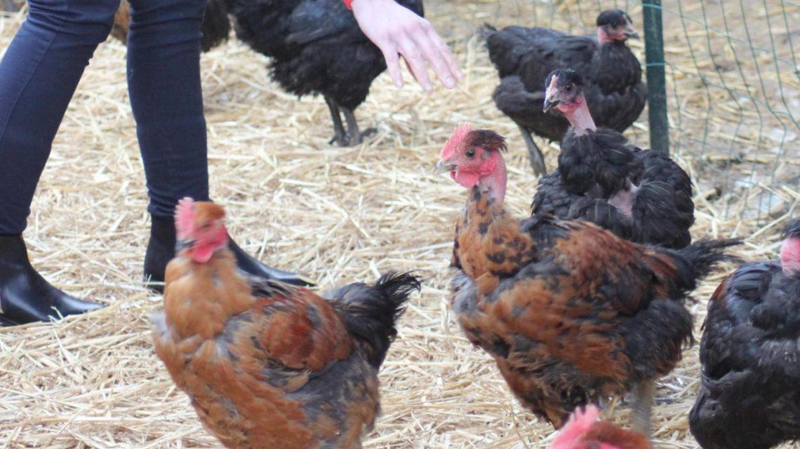 Elevage de Poulet en Roumanie: A quoi vous attendre dans vos assiettes?